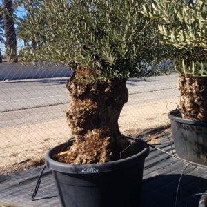 Olivenbaum knorrig jung | Vivero
